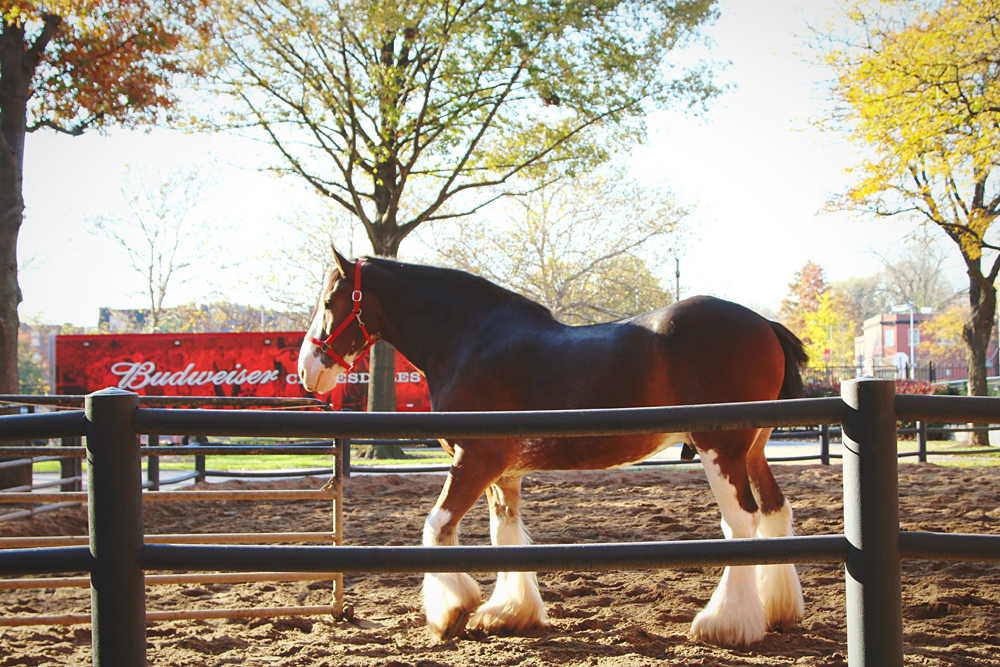 Buweiser Clydesdale Horses